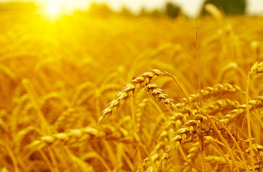 fidpro-wheat
